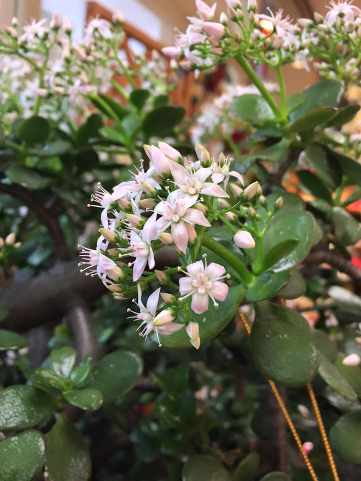 金のなる木の花